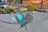 Three Budgies Resting on a Thin Branch — Stock Photo