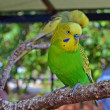 Stock Photo: Yellow and Green Budgie Bird