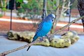 Blue Budgie Bird — Stock Photo