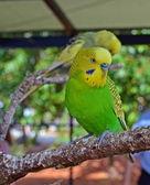 Yellow and Green Budgie Bird — Stock Photo