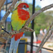 Lovebird in an Aviary — Stock Photo