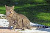Pregnant Feral Feline — Stock Photo