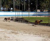 Greyhounds Racing — Stock Photo