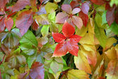 Virginia creeper. — Stock Photo