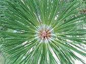 Macro of pine tree. — Zdjęcie stockowe