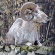 Argali or the mountain sheep — Stock Photo