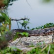 Northern water snake (Nerodia sipedon) — Stock Photo #30917257