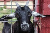 Портрет козы — Стоковое фото