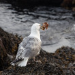 Seagull with crab — Stock Photo