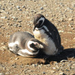 Stock Photo: Magellanic penguins