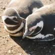 Stock Photo: Magellpenguins