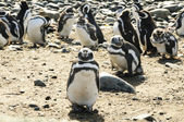 Magellan penguins — Stock Photo