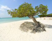 Aruba Divi tree — Stock Photo