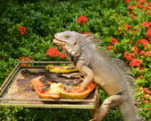 Iguana eating — Stock Photo