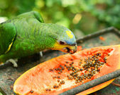 The Blue-fronted Amazon — Stock Photo