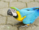 Yellowblue Macaw Ara — Stock Photo