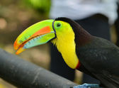 Tropic bird toucan — Stock Photo