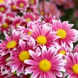 Autumn chrysanthemum flowers — Stock Photo #13590931