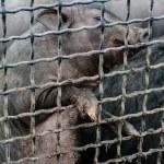 Постер, плакат: A piggy wiggy is in a cage