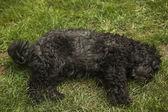 Puli - hungarian herding dog laying in the grass — Stock Photo