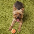 Happy yorkshire terrier dog playing at home — Stock Photo #31196989