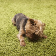 Happy yorkshire terrier dog playing at home — Stock Photo #31196999