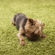 Happy yorkshire terrier dog playing at home — Stock Photo