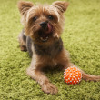 Happy yorkshire terrier dog playing at home — Stock Photo #31197003