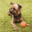 Happy yorkshire terrier dog playing at home — Stock Photo #31197027