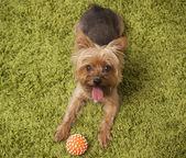 Evde oynarken mutlu yorkshire terrier köpek — Stok fotoğraf