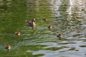 鴨とアヒルの子 — ストック写真