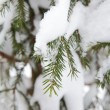 Christmas evergreen spruce tree with fresh snow — Stock Photo #17204979