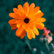 Calendula,unusual colors — Stock Photo