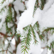 Christmas evergreen spruce tree with fresh snow — Stock Photo