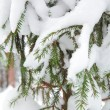 Christmas evergreen spruce tree with fresh snow — Stock Photo #33329835