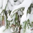 Christmas evergreen spruce tree with fresh snow — Stock Photo