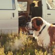 Large dog guards the car on nature — Stok fotoğraf