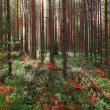 In a pine forest in the early morning — Stock Photo