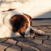 Sad dog by owner — Stock Photo
