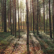 Pine forest in the early morning — Stock Photo