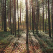 Pine forest in the early morning — Stock Photo #39910893