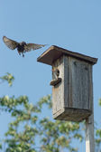 Swallow with insect in beak flying up to the birdhouse — Stock Photo