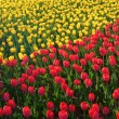 A field of yellow and red tulips in spring — Stock Photo