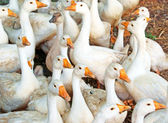 Goose band — Stock Photo