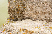 Snake on the stone — Stock Photo