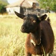 Black Goat Portrait — Stock Photo