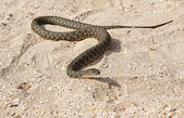 Snake on the beach — Stock Photo