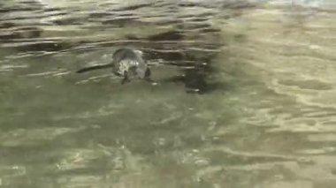 Piccolo pinguino nello stagno — Wideo stockowe