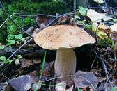 белый гриб — Стоковое фото