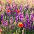 Field of violet lavender and red poppy flowers — Stock Photo
